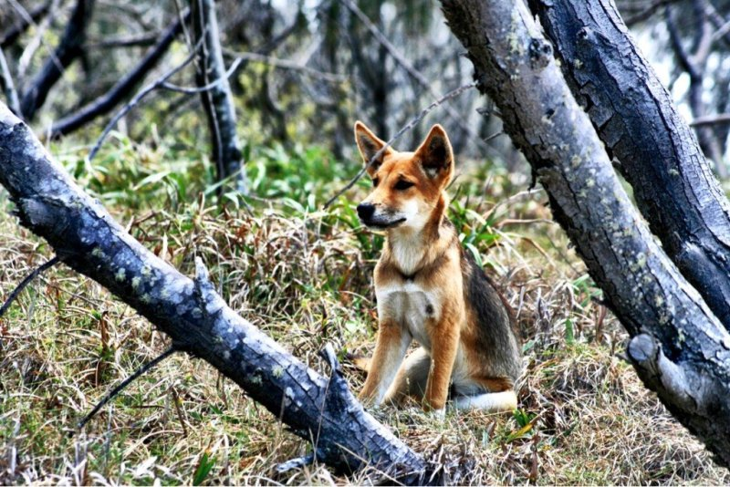 A wild dingo on Fraser Island Queensland Australia