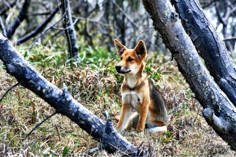 A wild dingo on Fraser Island Queensland Australia
