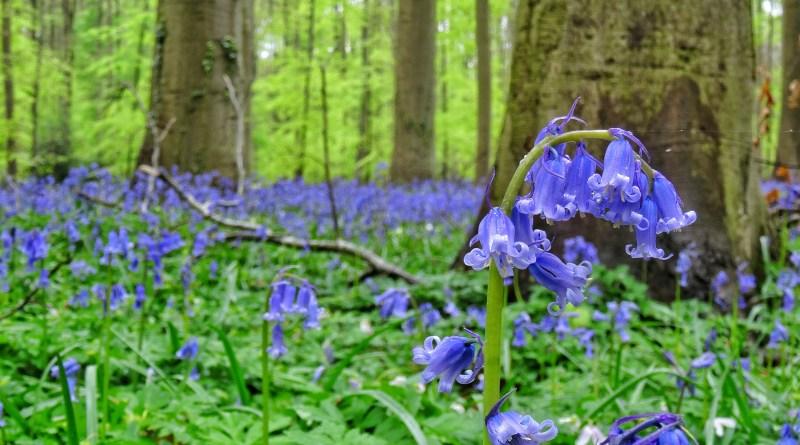 hallerbos belgium bluebells