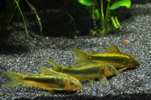 Yellow Laser Cory – Live Fish and Tropical Pets