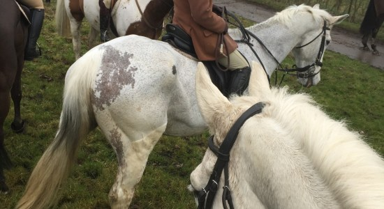 Grey horse to illustrate autumn bloodhound hunting