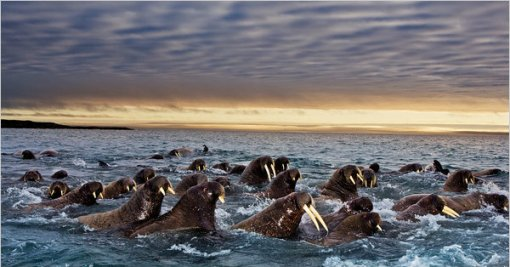 Walrus Migration