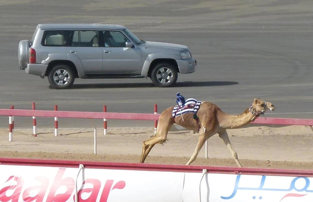 Camel racing in the UAE