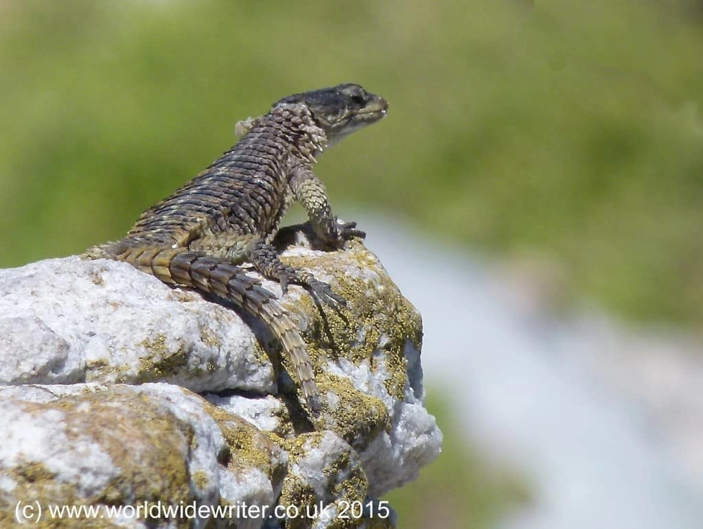 Girdled lizard at Stony Point Sanctuary, South Africa - www.worldwidewriter.co.uk