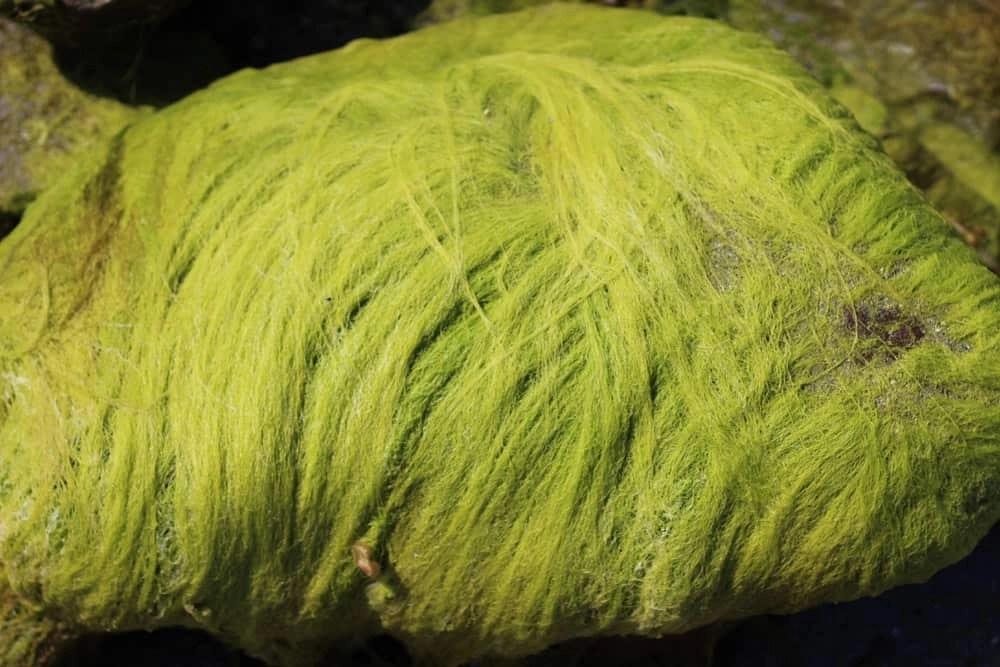 Sea grass (Ulva intestinalis)