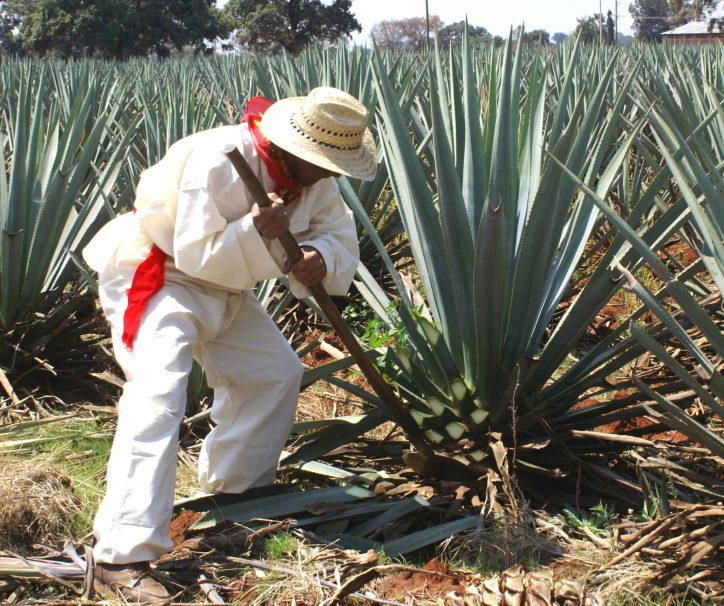 A jimador—the traditional Mexican farmer who grows the agave plan