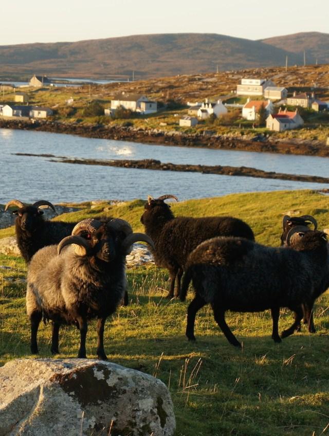 Hebridean tup