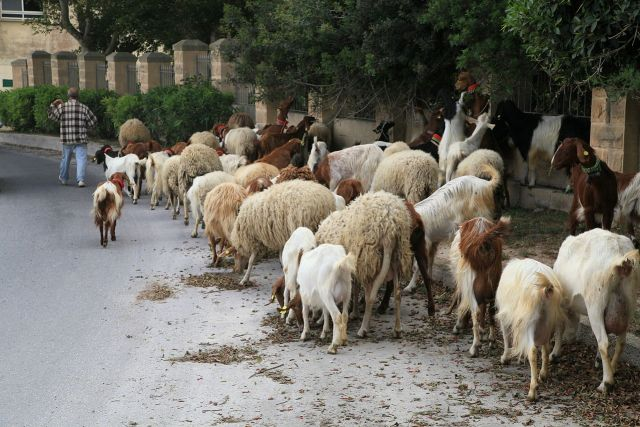 Sheep and goats together in Triq Lapsi, Siġġiewi, Malta - photo found on Wiki Commons and attributable to Frank Vincentz