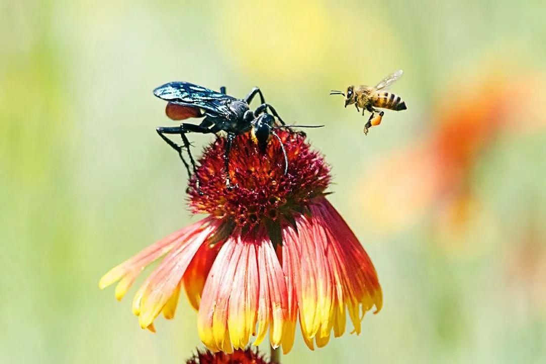 Pepsis Wasp & Honeybee