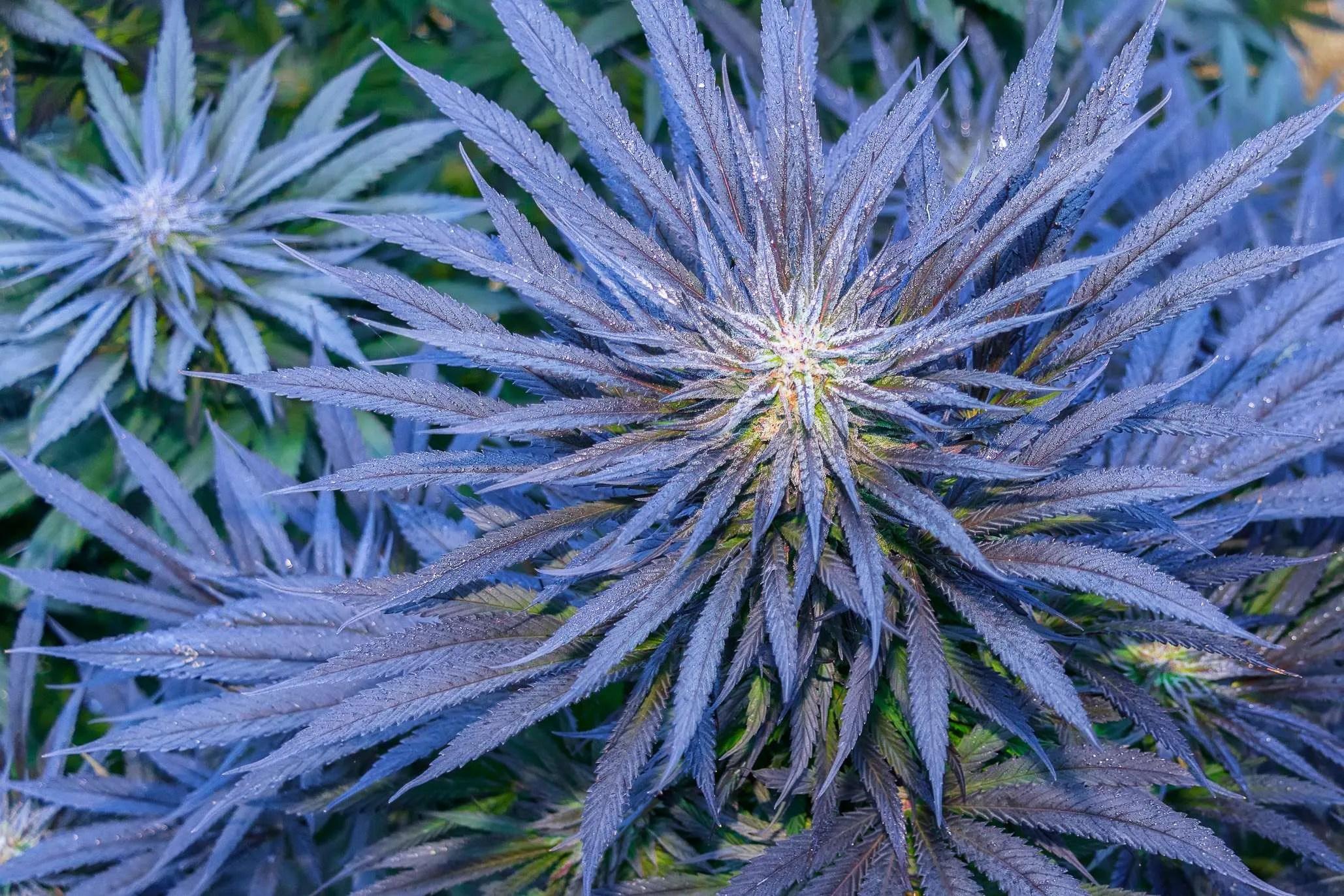 Cannabis-friendly environment