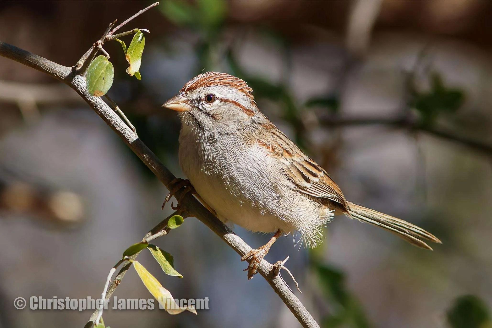 Rufous-winged Sparrow (Peucaea carpalis)