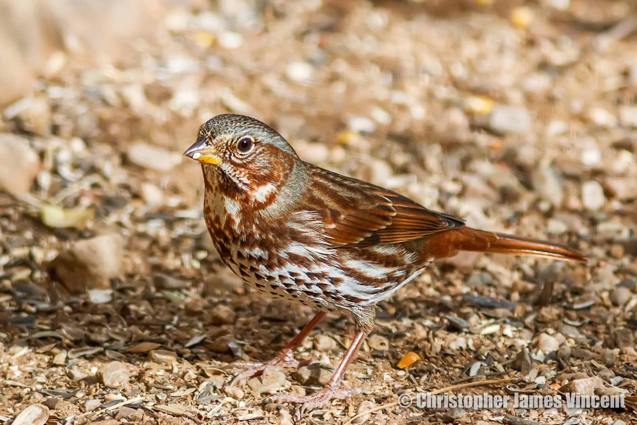 Red Fox Sparrow