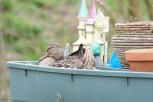 Hier hat sich eine Ente ihr Nest gebaut (das Blumekisterl steht auf dem Dach eines Hausbootes am Oxford Canal)