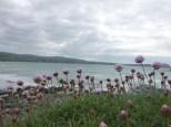 Am Weg auf Strand-Grasnelken zu stoßen freut mich besonders, denn diese erinnern mich an Sommer an der schwedischen Westküste