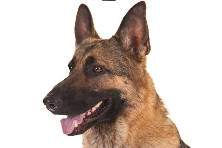 german-shepherd-dog-hero_1519641477342.jpg