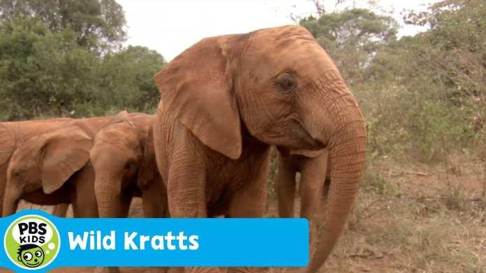 WILD KRATTS | Baby Elephant Power | PBS KIDS
