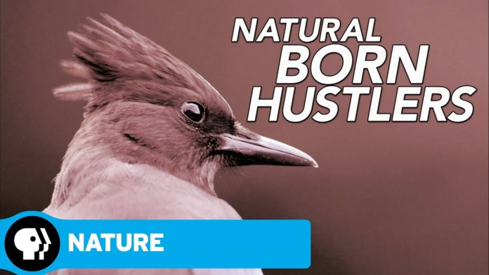 NATURE | Natural Born Hustlers | Episode 1 | Preview | PBS