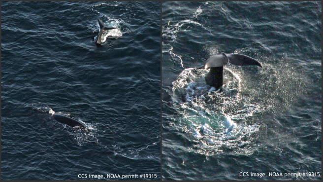 Right whales spotted in Cape Cod Bay_454520