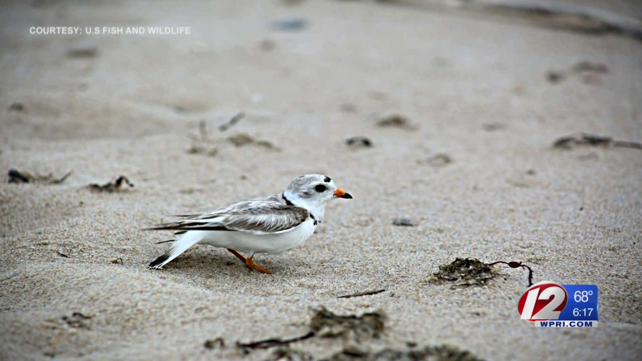 Concerns arise about Rhode Island's piping plovers after harsh weather