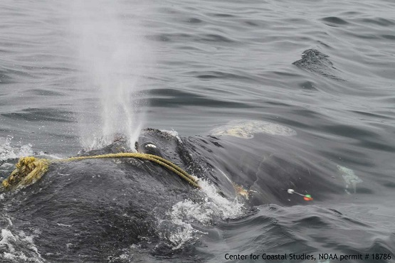 Right whale rescue 4-12_1523642985622.jpg.jpg