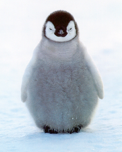 adorable baby penguin - what is google penguin