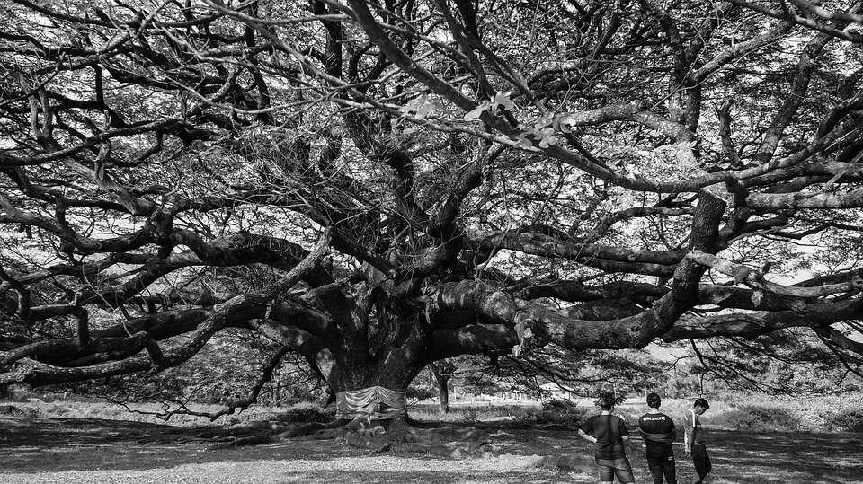 ต้นไทร ต้นไม้มงคล หากปลูกในบ้านแล้วจะมีแต่ความร่มเย็นเป็นสุข