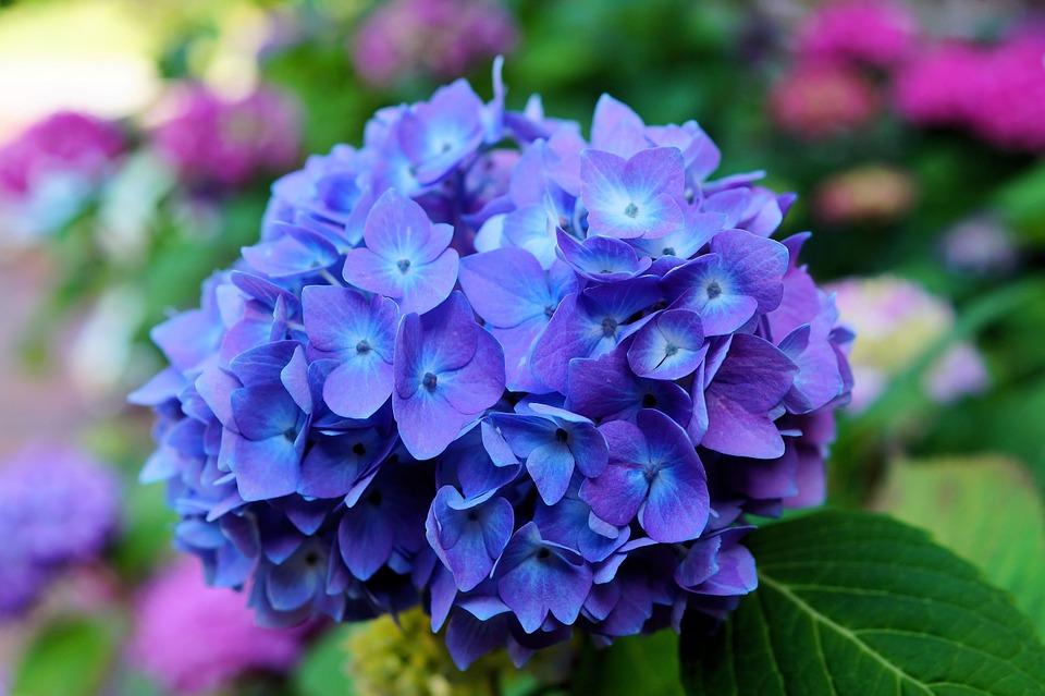 ดอกไฮเดรนเยีย