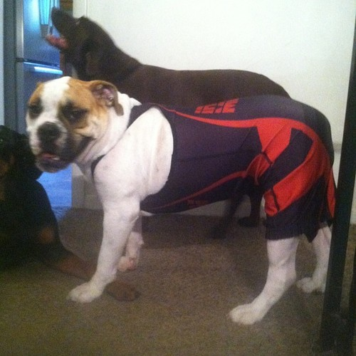 What a champ #dog #wrestling #singlet #puppy #sports via...
