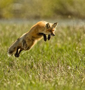"""The 2012 Jamestown Audubon Nature Photography Contest received entries from around the world. The winning photo in the Adult Wildlife category is """"Leaping for Prey"""" taken by Gerald Wilders of Toms River, New Jersey."""