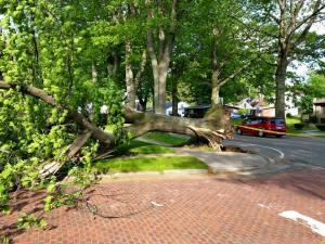 Fallen oak tree on W. Third St. in Jamestown.