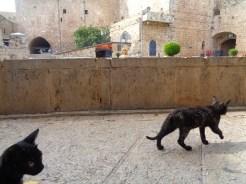 Koty w Acce