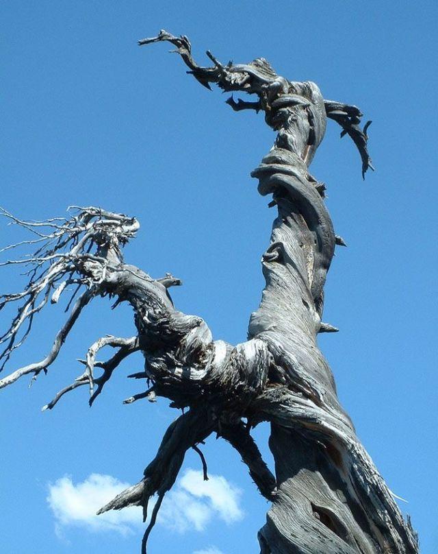 Jardine Juniper Tree