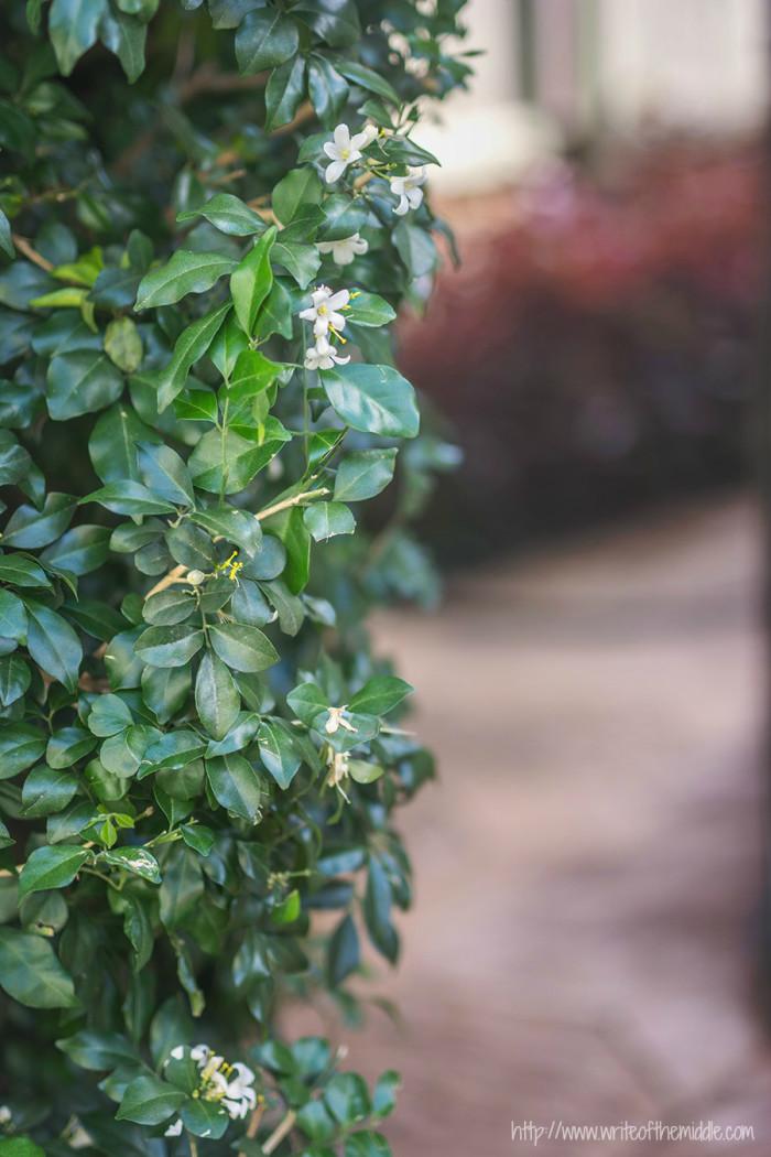 pruned hedge, garden
