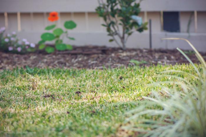 garden, winter, brisbane, australia, lawn, grass, sir walter