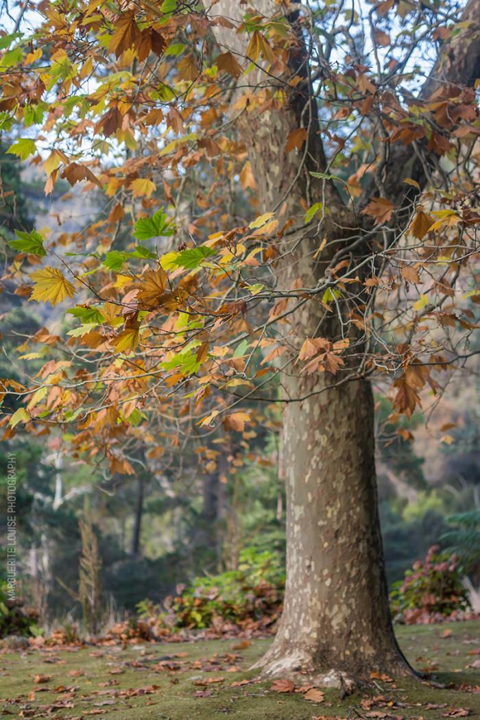 autumn leaves, tree, cataract gorge, launceston, tasmania