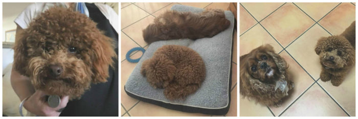 dogs, toy poodle, cavalier king charles spaniel