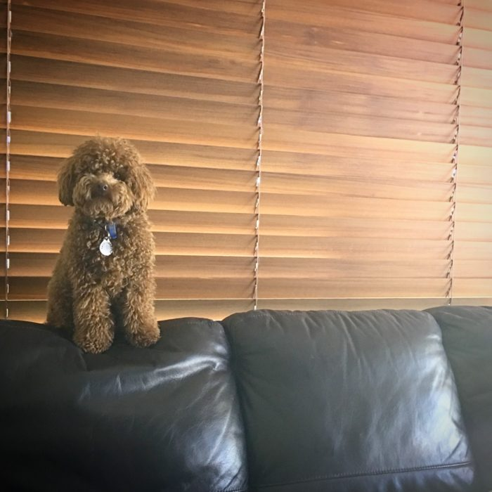 red toy poodle, poodle, toy poodle, dog