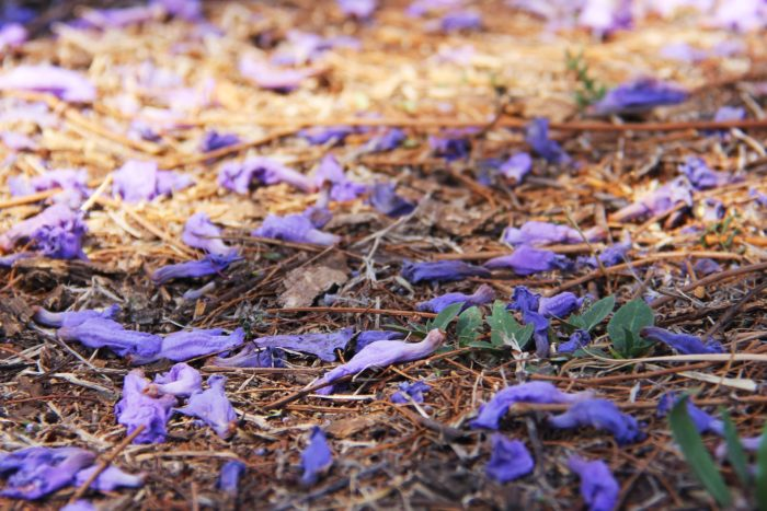 purple, flowers, jacaranda, jacaranda tree, tree, petals, petals on the ground,