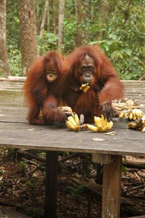 orangutan, indonesia, kalimantan
