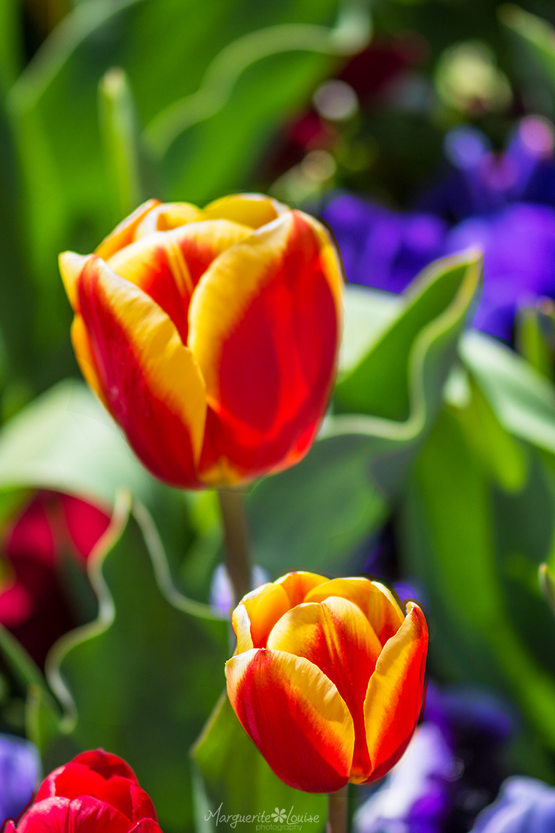 tulips, floriade, flowers, spring, canberra