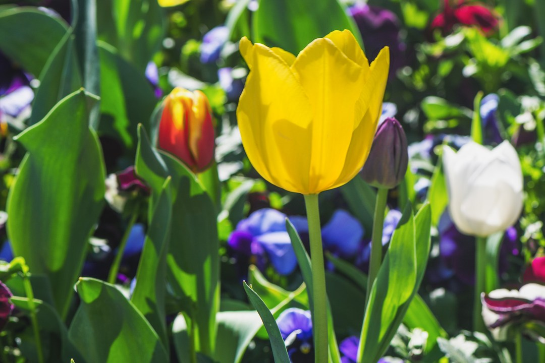 tulips, tulip, yellow, flowers, flower, floriade, canberra, spring