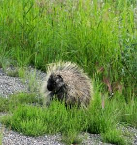 A porcupine? I promise the image makes sense. Keep reading.