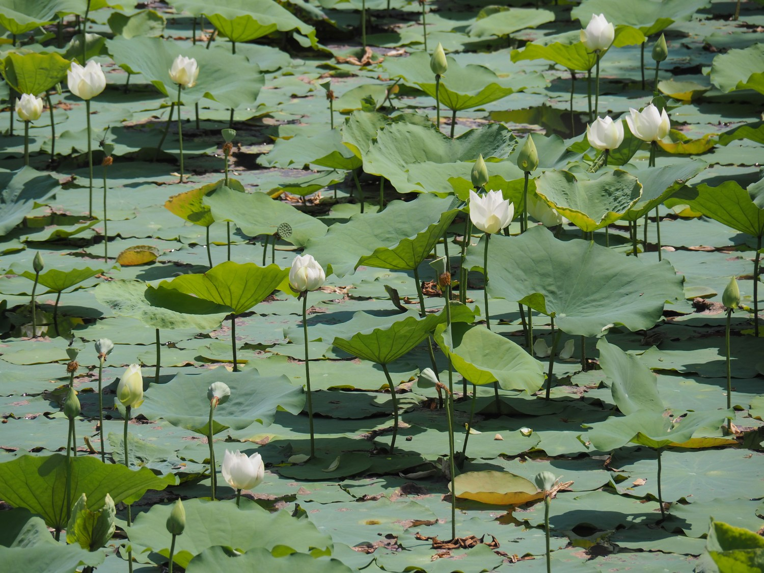 No mud, no lotus. Simple mindfulness wisdom when things are tough