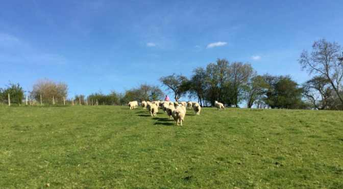 Day 8: Sheep shearing and the beauty of labour