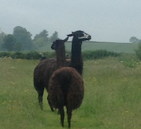 llamas in the rain
