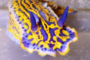 A purple and yellow sea creature with purple horns, spread over a flat surface