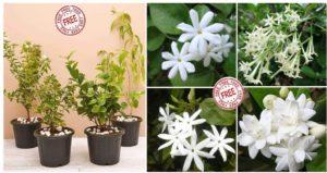 [Last Day] NurseryLive Loot - Get 4 Jasmine Plants For FREE
