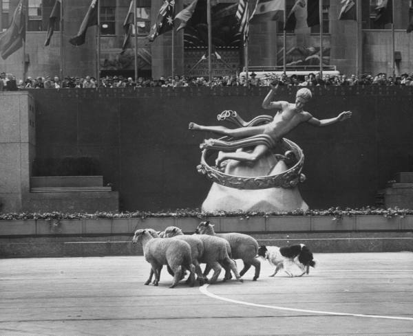 a-border-collie-herding-sheep-at-the-rockefeller-center-1948-photo-for-life-magazine-by-george-silk