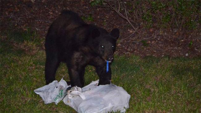 SC black bear_242631