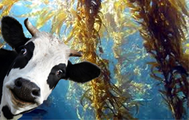 Feeding Cows Seaweed